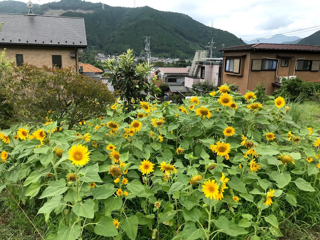 Not exactly a sunflower field but… ヒマワリ畑とまでは言えないけど。。。